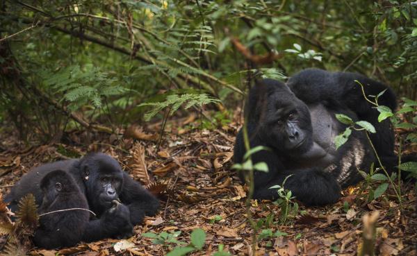 mountain gorillas and juvenile volcanoes national