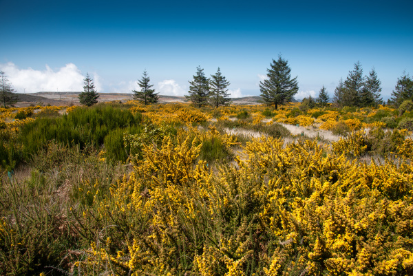 blooming yellow genista on the plateau