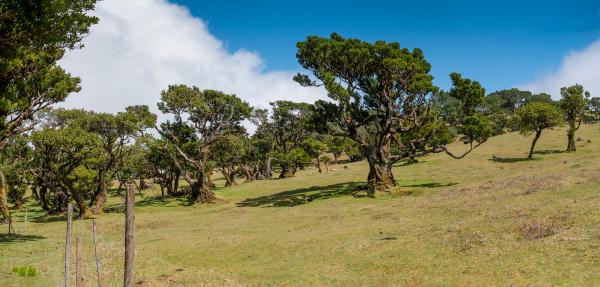 old laurel forest in fanal in