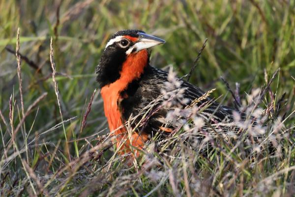 long tailed meadowlark leistes loyca in