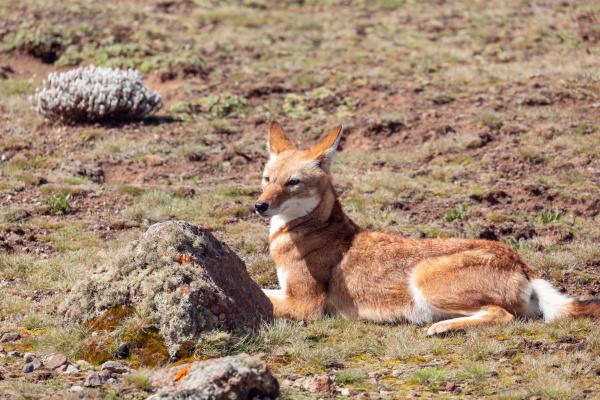 ethiopian wolf canis simensis ethiopia