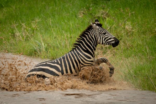 plains zebra struggling towards riverbank in