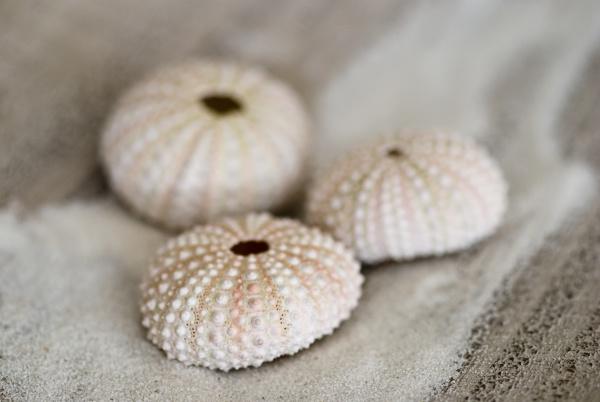 sea urchin shells and sand