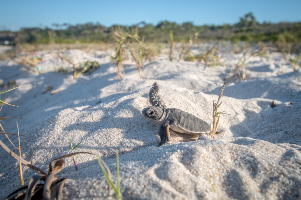 baby green sea turtle on the