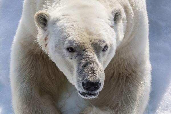 adult polar bear ursus maritimus close