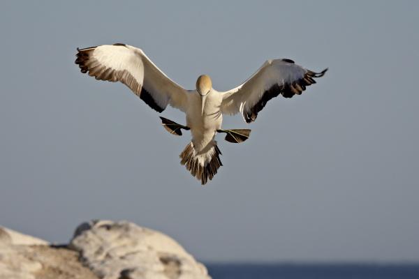 cape gannet morus capensis landing lamberts
