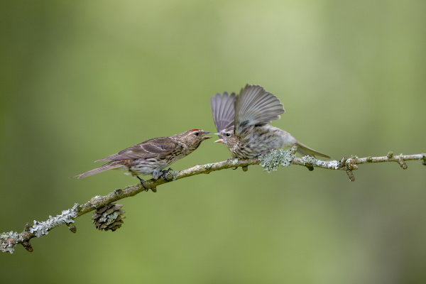 common redpoll and fledgling perching on