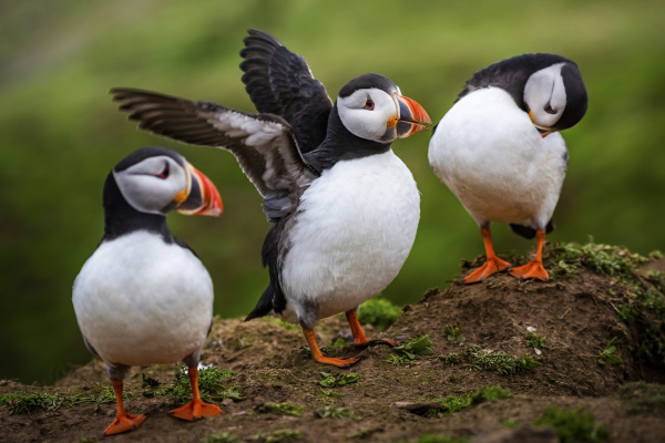 puffins at the wick skomer island