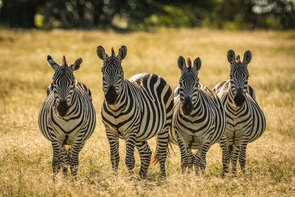 four plains zebra equus quagga