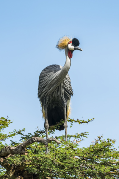 grey crowned crane balearica regulorum