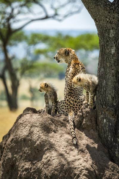 cheetah and two cubs acinonyx