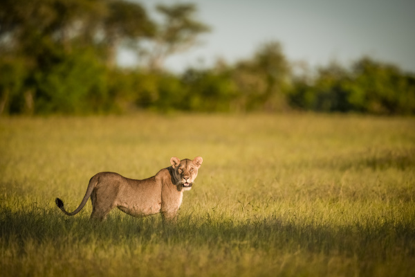 lioness panthera leo stands