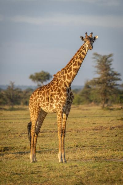 masai giraffe giraffa camelopardalis tippelskirchii