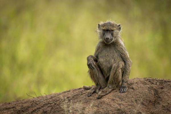 olive baboon papio anubis