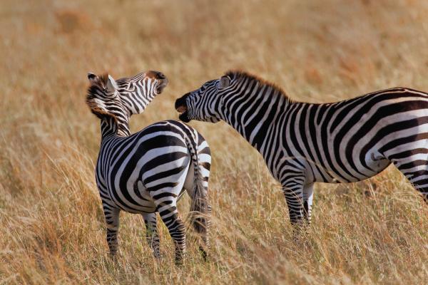 burchells zebras equus burchellii in the