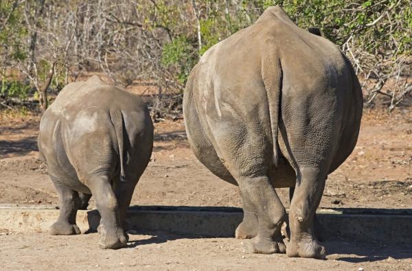 white rhinos mother with cub mkhaya