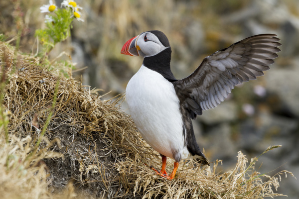 iceland close up of puffin flapping