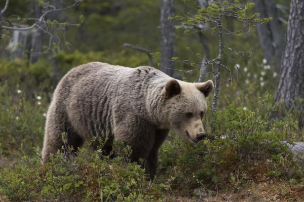 european brown bear ursus arctos kuhmo