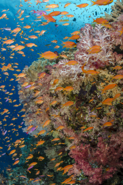 fiji reef with coral and