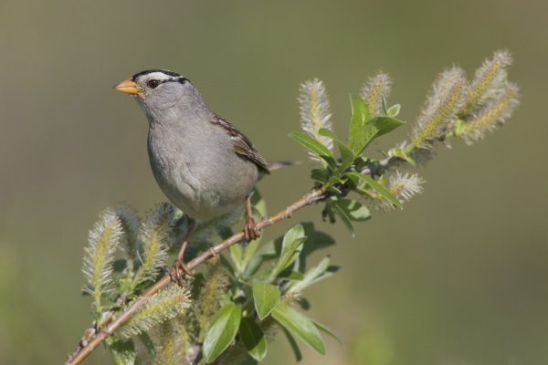white crowned sparrow sub arctic willow