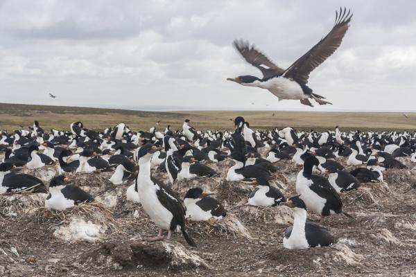 falkland islands bleaker island imperial shag