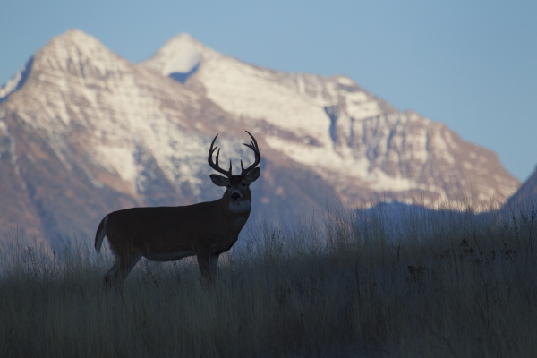white tail deer buck silhouetted