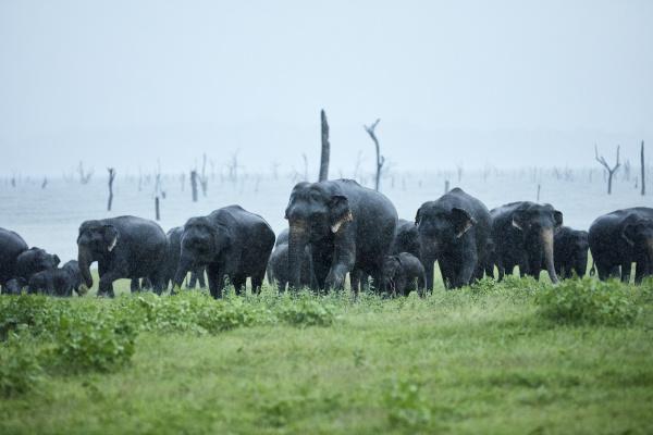 asian elephant family grazing at kaudulla