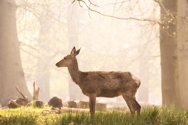 red deer in richmond park london