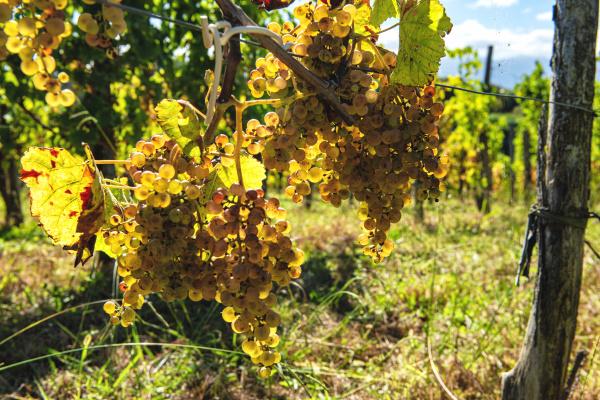 grapes for jurancon wine in