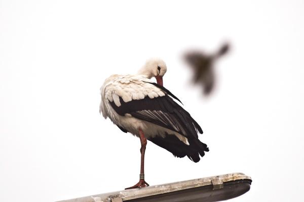 stork on street lamp on white