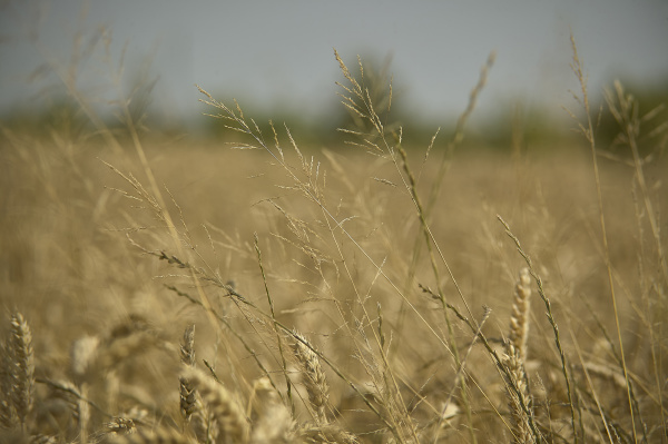 weed grass in a barley cultivation