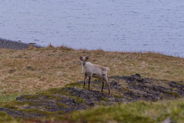 lone deer on coastline portrait skaftafell