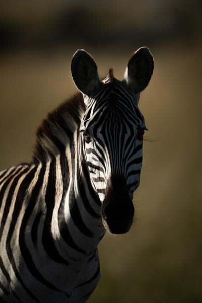 close up of plains zebra looking