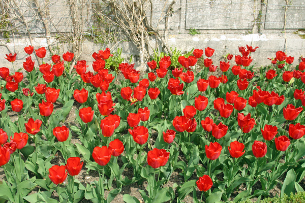 red tulips in a flower bed