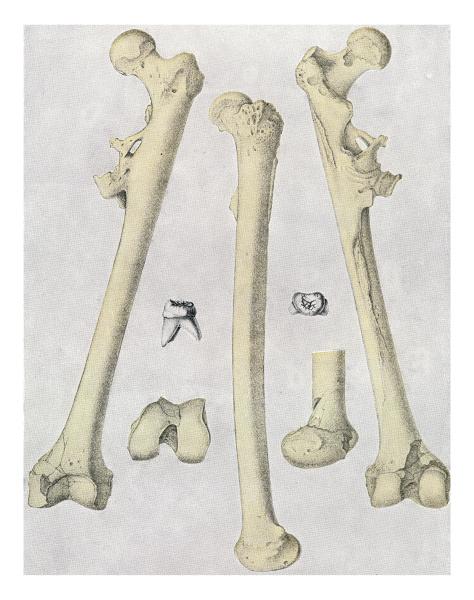 bones and teeth of pithecanthropus erectus