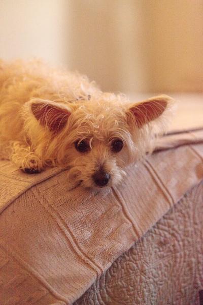 sad sulking mixed breed white scruffy