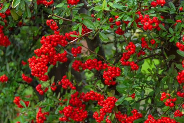 ornamental shrub of red berries in
