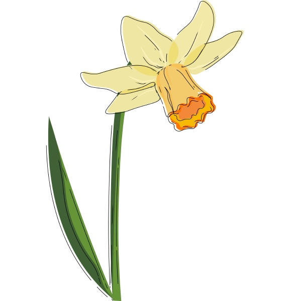 beautiful narcissus flower vector or color
