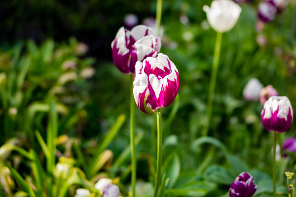 blooming red and white tulips in