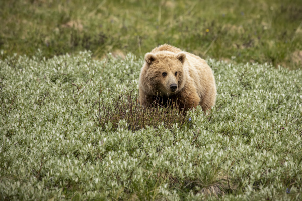 immature light coloured grizzly bear