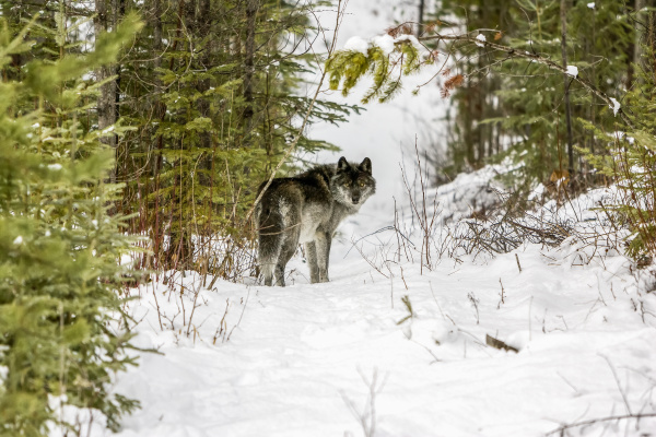 wolf canis lupus standing