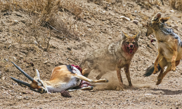 common jackal canis aureus and black