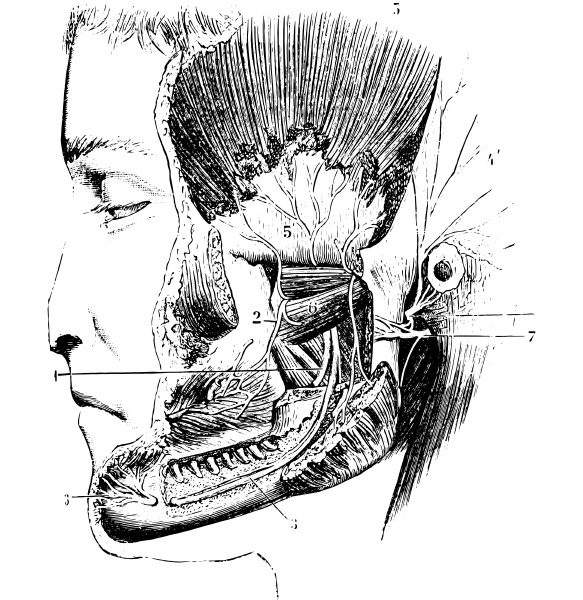 lateral pterygoid or external pterygoid vintage