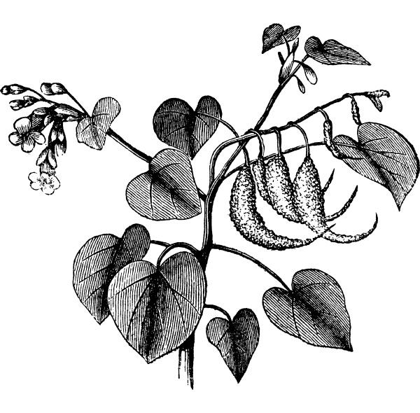 rams horn or proboscidea louisianica vintage
