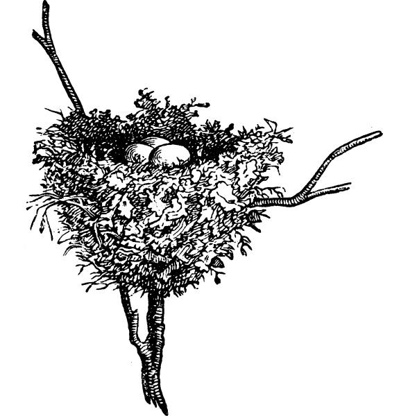 hummingbird nests vintage engraving