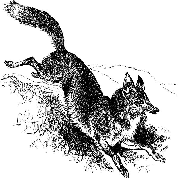 golden jackal or canis aureus vintage