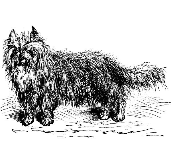 skye terrier or canis lupus familiaris