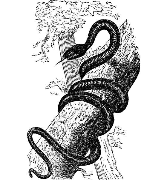 eastern racer or coluber constrictor vintage