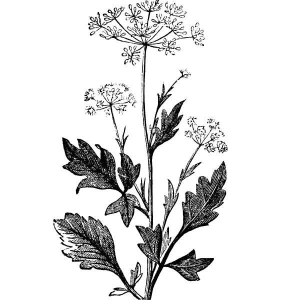 anise or pimpinella anisum vintage engraving