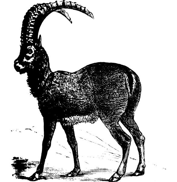alpine, ibex, or, capra, ibex, , goat, - 27613675
